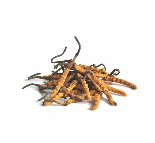 西藏東蟲草